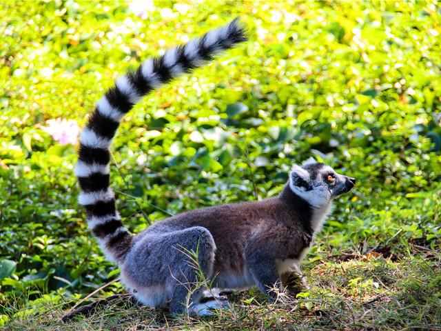 神奇的马达加斯加:环尾狐猴